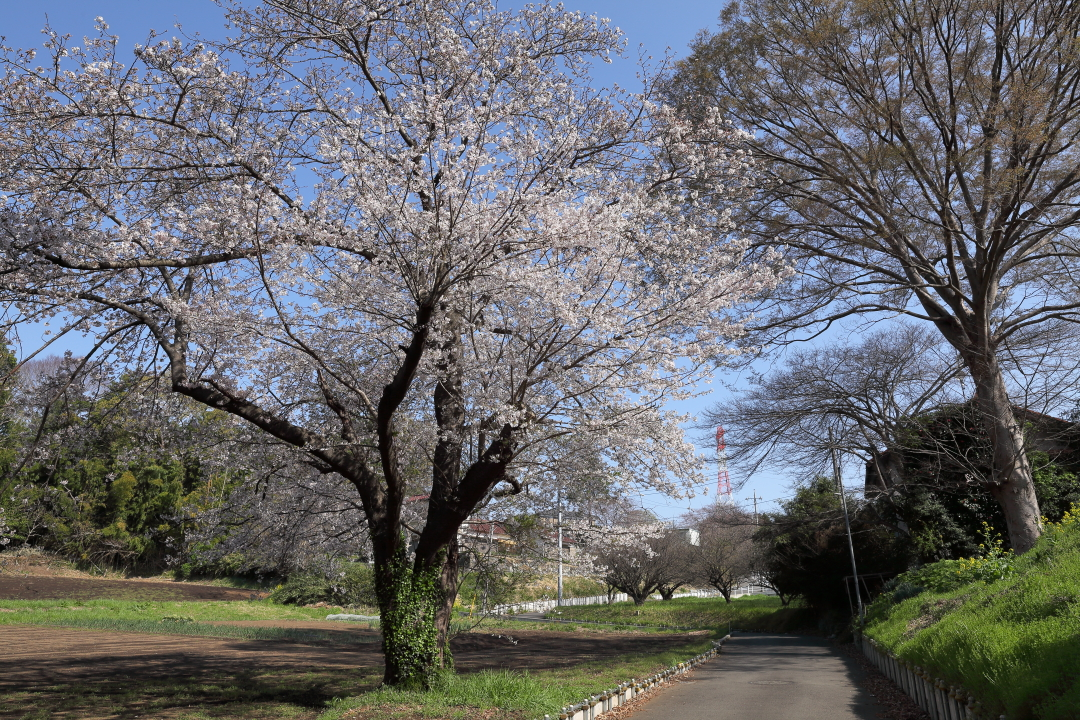 畑のそばに立つ一本桜