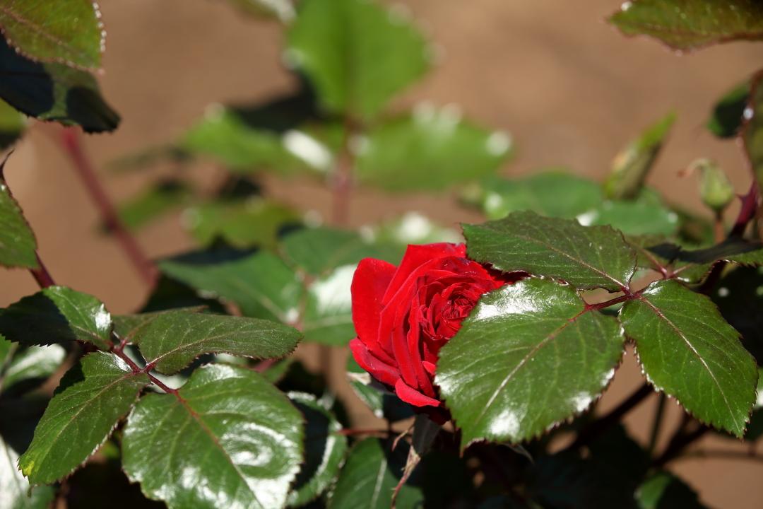 深紅のバラ