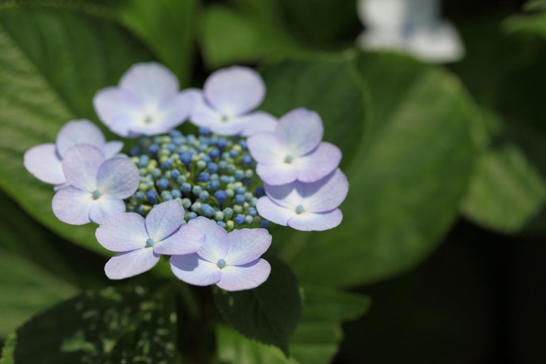 紫陽花0608-2