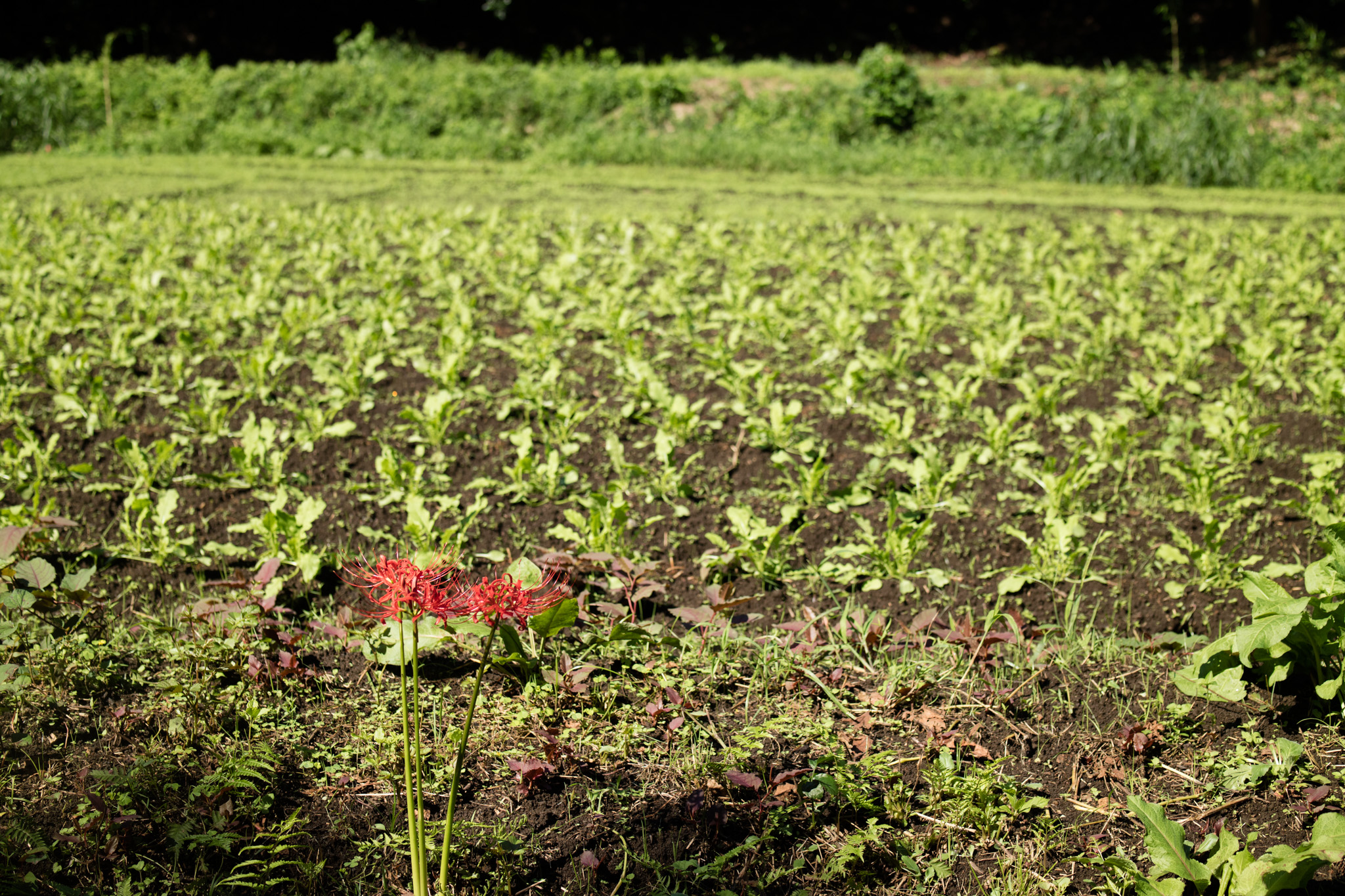 大根畑と彼岸花