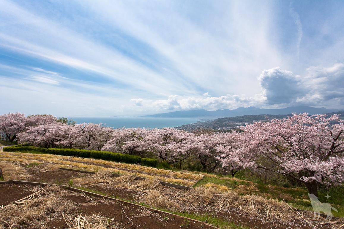 二宮、吾妻山公園の桜と相模湾