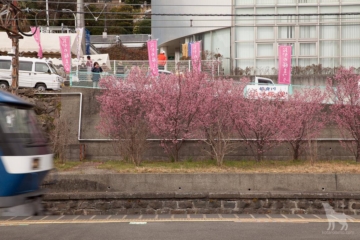 根府川駅と、おかめ桜