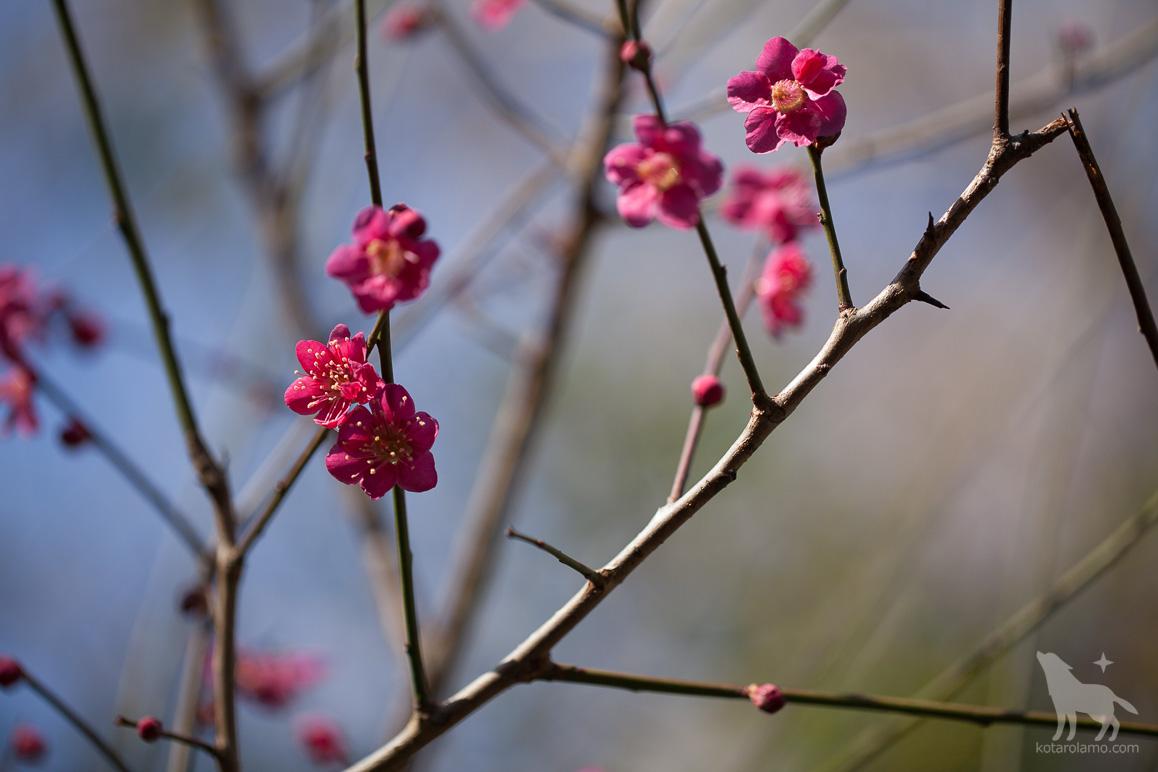 鮮やかな色をした梅の花