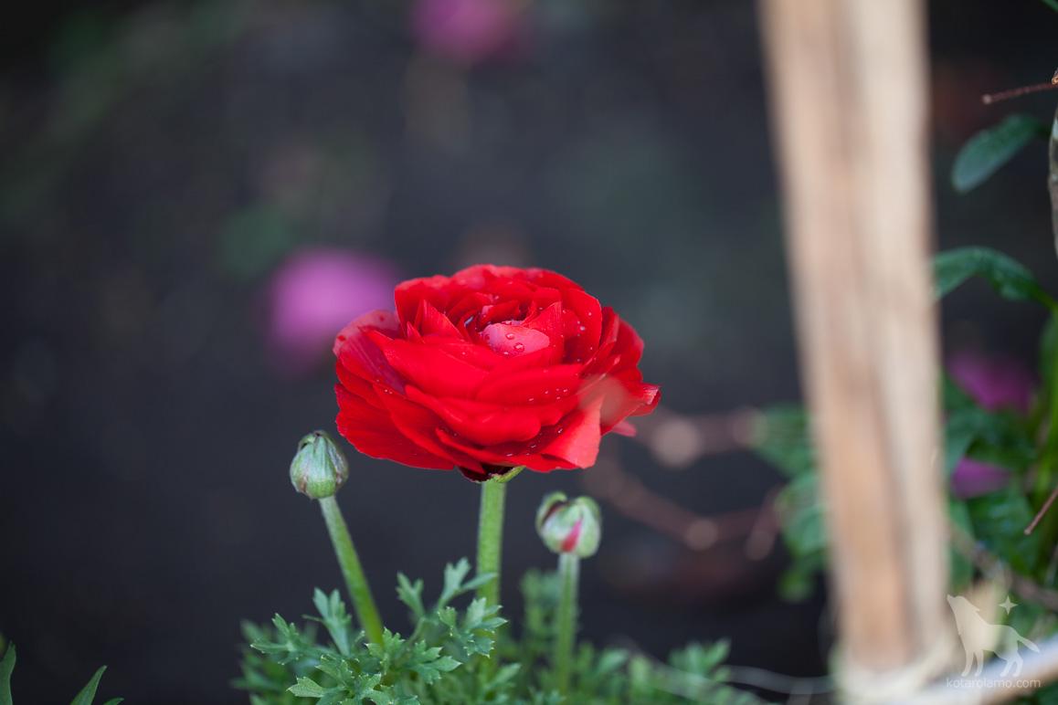 バラのような、綺麗な花