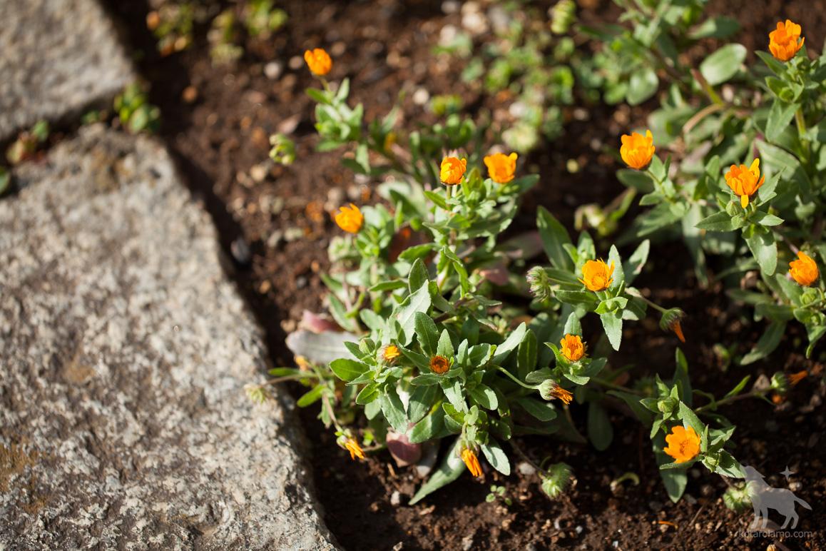 極楽寺の道端に咲く花