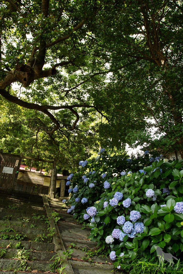龍口明神社に咲く紫陽花