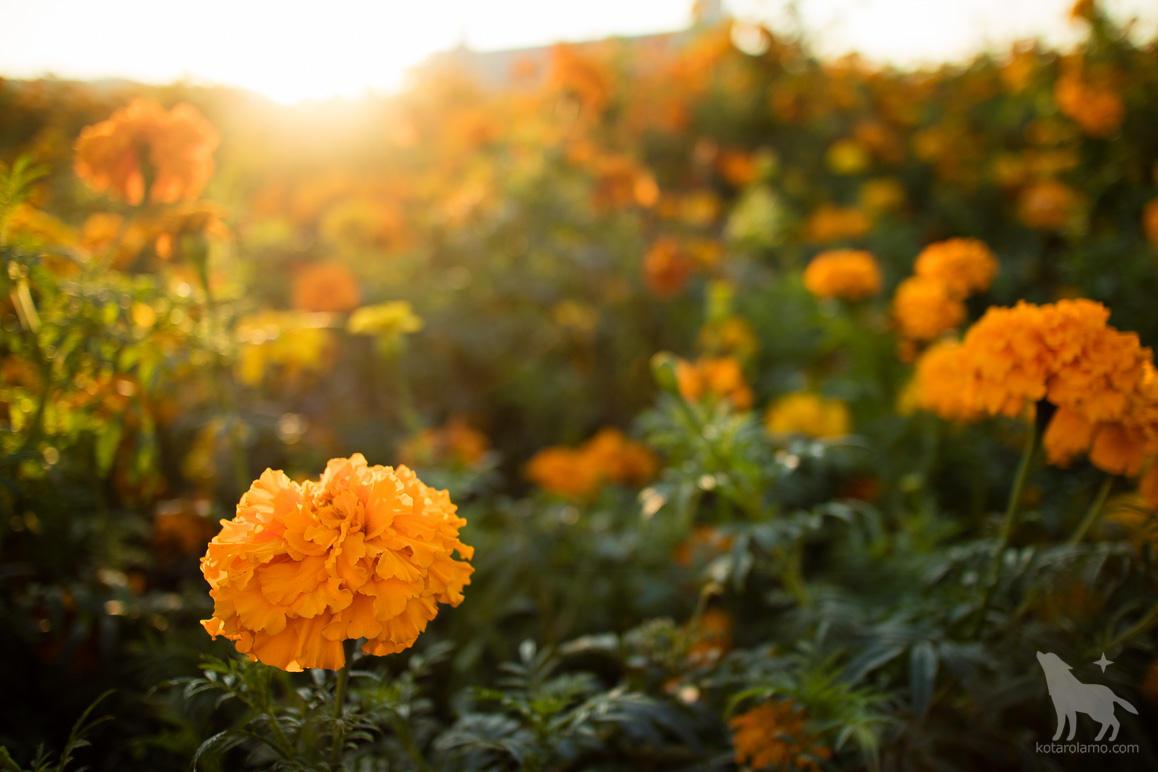 秋の花、マリーゴールド