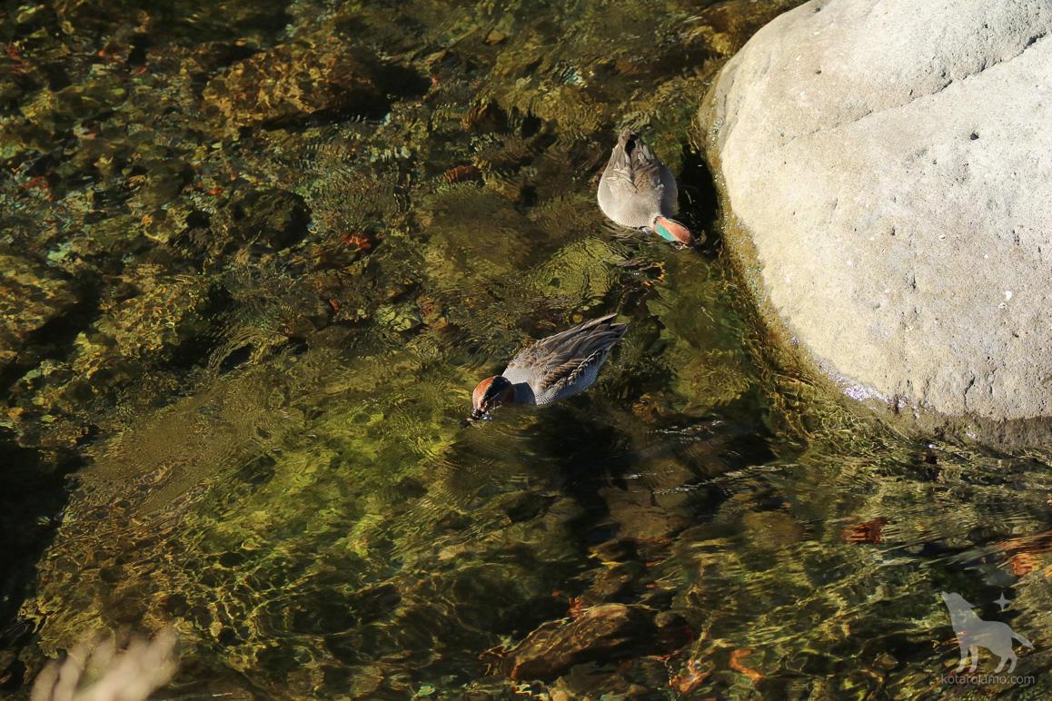 餌を探す鴨