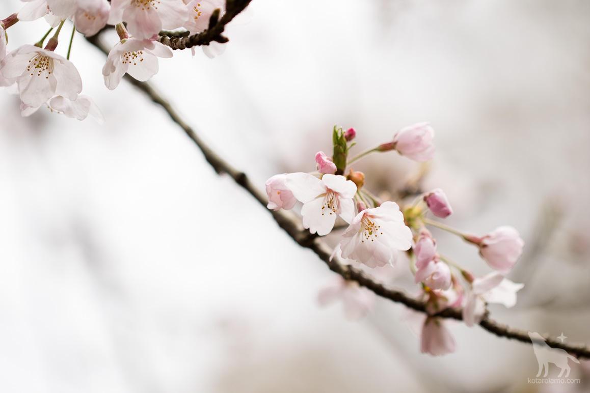 儚げに咲く桜