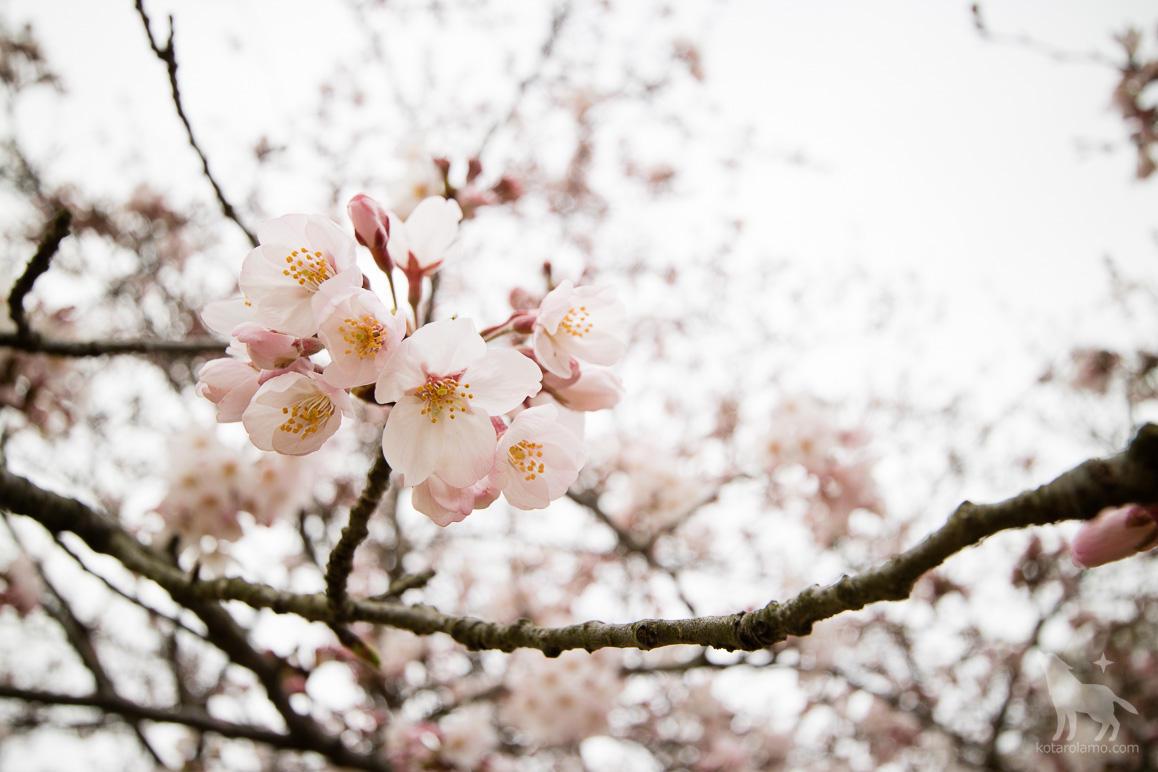 広角で撮った桜
