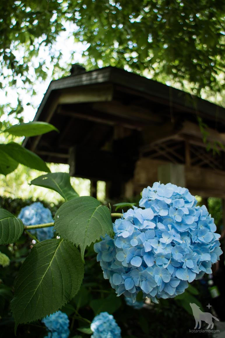 門と紫陽花