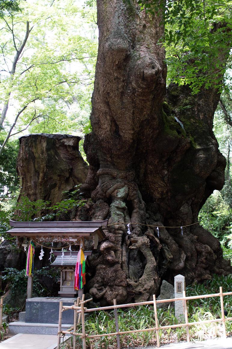 来宮神社の大楠 (1)