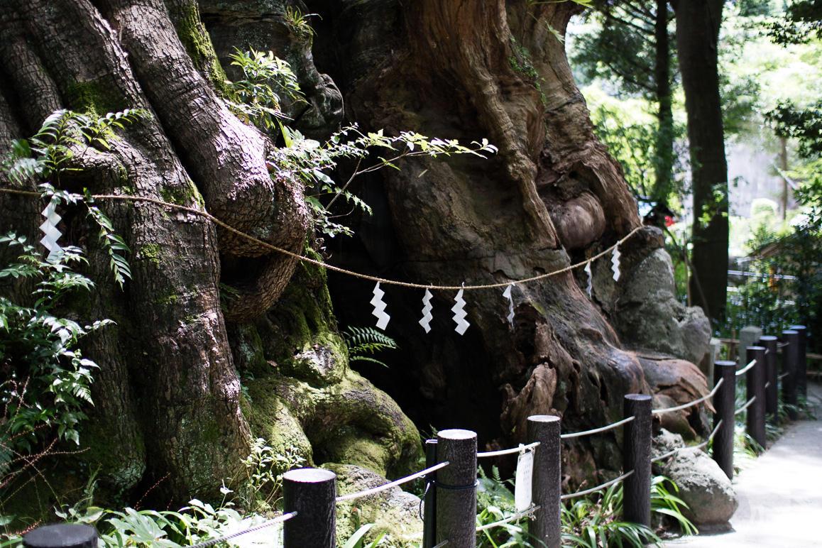 来宮神社の大楠 (2)