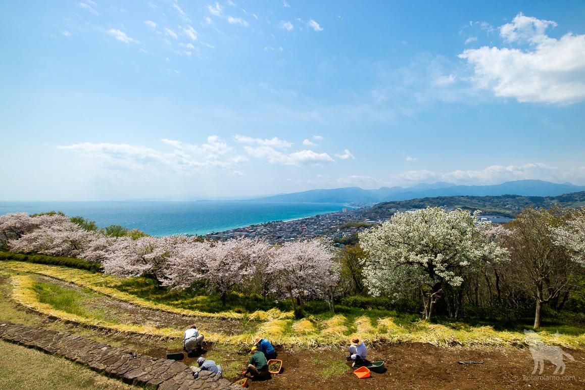二宮町、吾妻山公園の桜