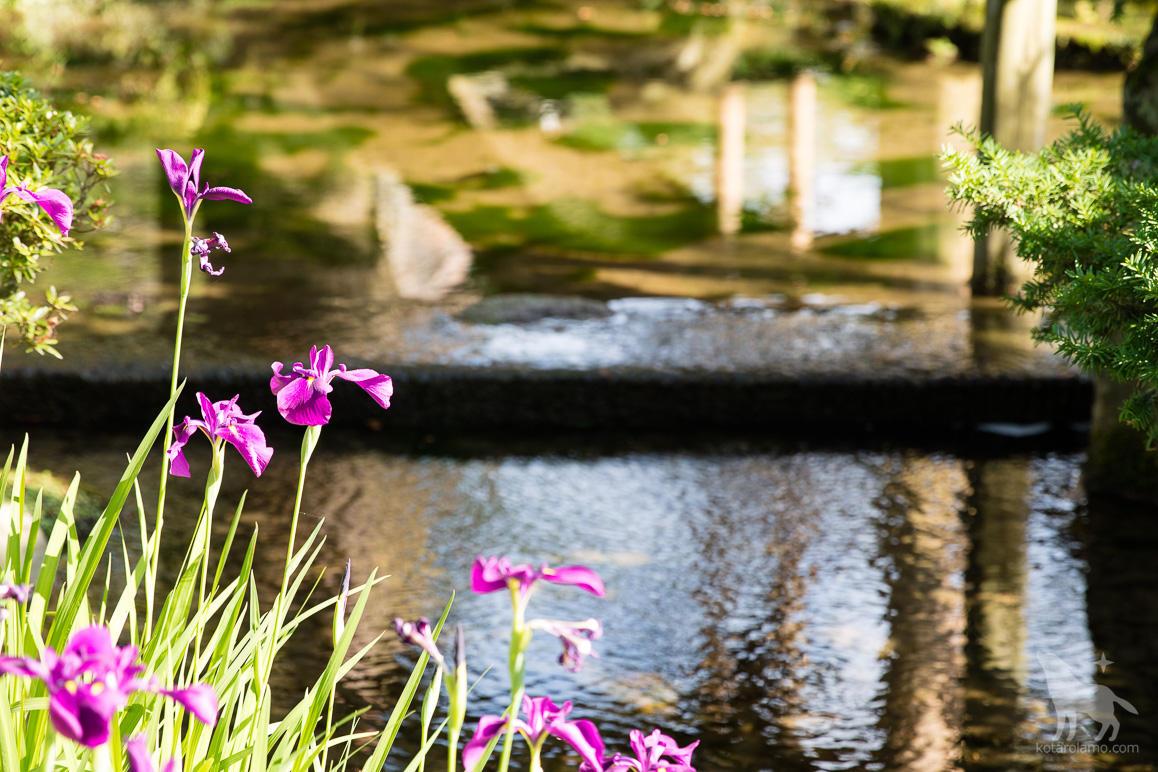 花しょうぶの原種、ノハナショウブ