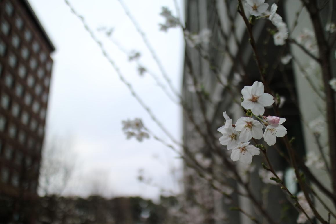 水墨画みたいな桜の写真