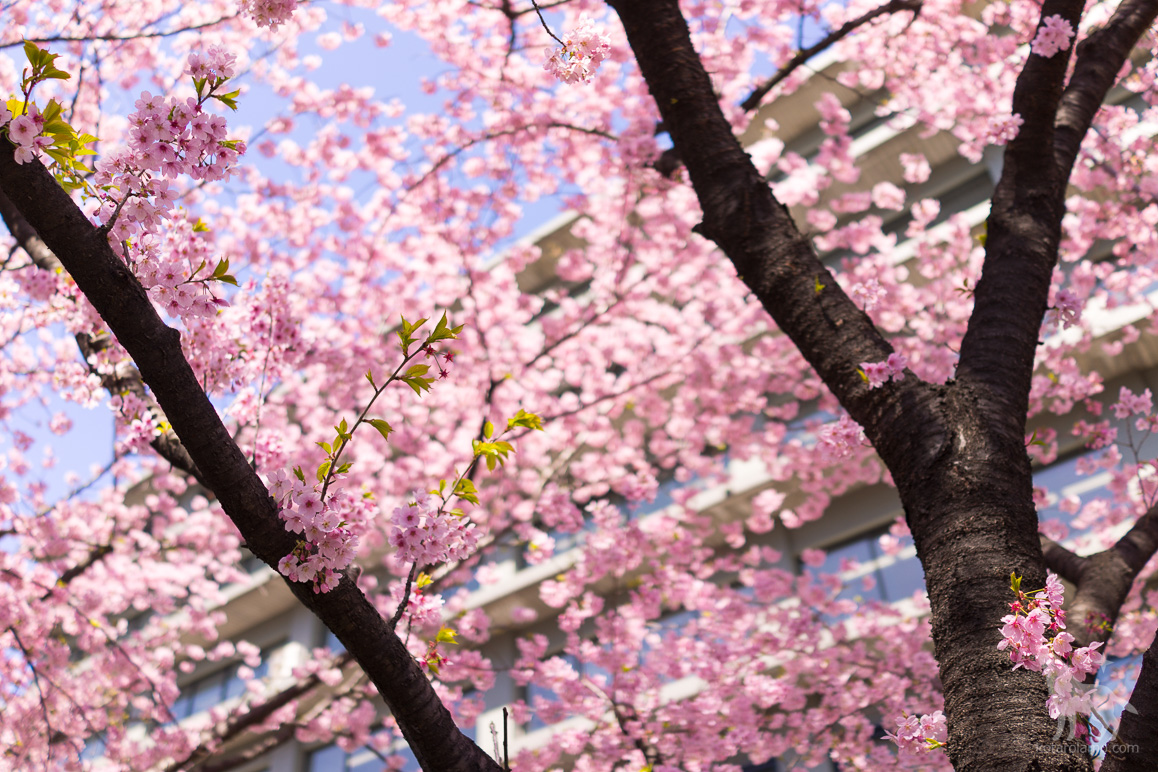 外務省、南門近くの陽光桜